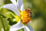 Bee on Dahlia Flower, Willamette Valley, Oregon Photographic Print by Craig Tuttle
