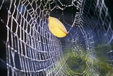 Leaf Caught in Spiderweb Photographic Print by Craig Tuttle