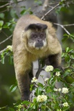 Black-Tufted Capuchin Photographic Print by Darrell Gulin