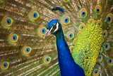 Peacock with Tail Fanned Photographic Print by Craig Tuttle