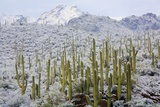 Saguaros in Snow Photographic Print by James Randklev