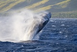 Humpback Whale Photographic Print by Ron Dahlquist