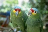 Red-Lored Amazon Parrots Stampa fotografica di Craig Tuttle
