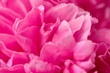 Peony Fragrance Photographic Print by Philippe Sainte-Laudy