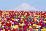 Tulip Field and Mount Hood Photographic Print by Craig Tuttle