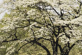 Graphic Design of White Dogwood Tree Photographic Print by Adam Jones