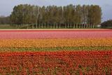 Tulip Fields in Springtime Near Keukenhof Gardens Photographic Print by Darrell Gulin