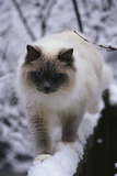 Ragdoll Cat Outside Photographic Print by Darrell Gulin