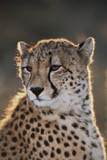 South Africa, Cheetah Looking Away Photographic Print by Amos Nachoum