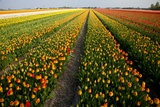 Tulip Fields Springtime in and around Lisse, Netherlands Photographic Print by Darrell Gulin
