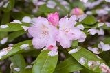 Pink Rhododendron Blossoms Photographic Print by Craig Tuttle
