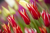 Tulip Fields in Woodburn, Oregon Photographic Print by Craig Tuttle