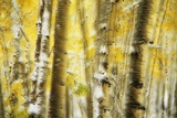Aspen Grove Blanketed with Snow Photographic Print by Darrell Gulin