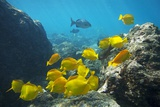 School of Yellow Tang Nderwater Near La Perousse, Makena, Maui, Hawaii Photographic Print by Ron Dahlquist
