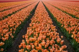 North Holland, Netherlands, Springtime Tulips Fields in Orange Tones Photographic Print by Darrell Gulin