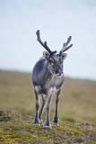 Svalbard Reindeer Buck on Tundra, St. Jonsfjorden, Spitsbergen, Norway Stampa fotografica di Steve Kazlowski