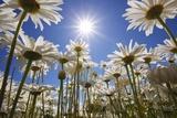Sun Thru Flowers, Willamette Valley, Oregon Photographic Print by Craig Tuttle