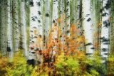 Aspen Grove Along Mcclure Pass Photographic Print by Darrell Gulin