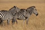 Zebra Masai Mara Reserve, Kenya Africa Photographic Print by Darrell Gulin