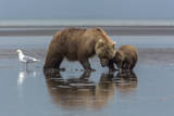 USA, Alaska, Clark River, Brown Bear and Cubs Photographic Print by Gavriel Jecan