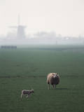 Netherlands, South Holland, Sheep and Lamb Standing in Farm Photographic Print by David Barnes