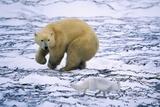 Polar Bear and Arctic Fox Photographic Print by Darrell Gulin