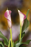 Close-Up of Calla Lily Photographic Print by Adam Jones