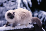 Ragdoll Cat on Fence Photographic Print by Darrell Gulin