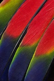 Main Central Wing Feathers of Amazon Parrot Stampa fotografica di Gulin, Darrell
