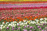 Tulip Field Photographic Print by Craig Tuttle