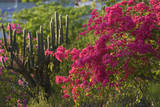 Caribbean, British Virgin Islands. Bougainvillea and Pipe Organ Cactus Photographic Print by Kevin Oke