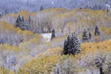 Aspens and Firs Blanketed with Snow Photographic Print by Darrell Gulin