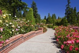Portland Rose Garden, Oregon Photographic Print by Craig Tuttle