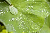 Dew Drops on a Leaf Photographic Print by Craig Tuttle