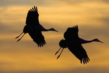 Silhouettes of Two Sandhill Cranes Photographic Print by Darrell Gulin
