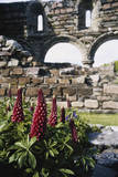 Scotland, Isle of Iona, Red Flowers with Stone Archways of Nunnery Fotografisk tryk af Cindy Miller Hopkins