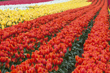 Tulip Fields, Wooden Shoe Tulip Farm, Woodburn Oregon, United States Photographic Print by Craig Tuttle