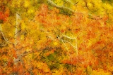 Aspen Foliage in Autumn Photographic Print by Darrell Gulin