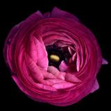Pink Ranunculus Fotodruck von Magda Indigo