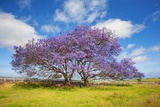 Jacaranda Trees in Bloom in the Up-Country on Maui Photographic Print by Ron Dahlquist
