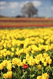 Yellow Tulip Field Photographic Print by Craig Tuttle