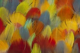 Multi-Colored Feathers from a Variety of Parrots Stampa fotografica di Gulin, Darrell