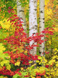 USA, New York, Adirondack Park, Autumn Colors of Birch and Maple Trees Photographic Print by  Jaynes Gallery