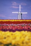 Windmill in Tulip Field Photographic Print by Craig Tuttle