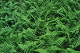 Evergreen Wood Ferns Photographic Print by James Randklev