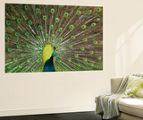 The Peacock Wall Mural by Art Wolfe