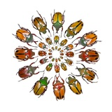 Eudicella Flower Beetles from African in a Circular Design Pattern Photographic Print by Darrell Gulin