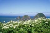 Cow Parsnip Plants Along Oregon Coastline Photographic Print by Darrell Gulin