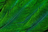 Resplendent Quetzal Green Tail Feathers in Layered Feather Design from Costa Rica Photographic Print by Darrell Gulin