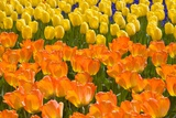 Orange and Yellow Tulips Photographic Print by Darrell Gulin